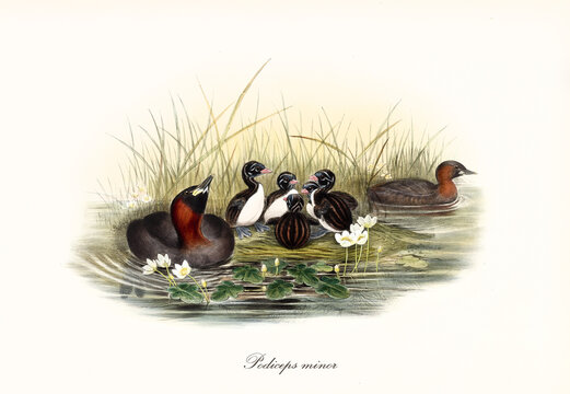 Duck looking family of aquatic birds Little Grebe (Tachybaptus ruficollis) nesting on a high grassed shore of a pond. Detailed vintage style watercolor art by John Gould publ. In London 1862-1873