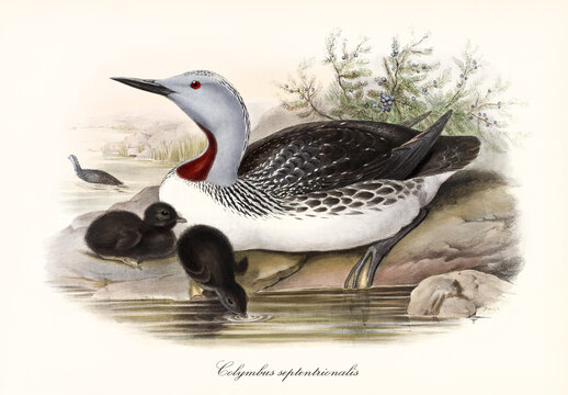 Aquatic bird called Red-Troated Loon (Gavia stellata) protecting its drinking children on a rocky pond shore. Detailed vintage style watercolor art by John Gould publ. In London 1862-1873