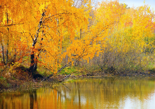Beautiful autumn landscape - white birch trunks and branches full of colorful yellow leaves bowing down to the rippled water surface of forest lake and mirrored in it, Moscow region, Russia