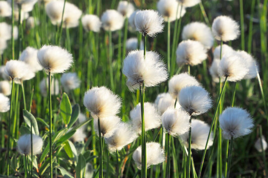 Flowers of the polar tundra. Cotton grass The landscape of the tundra