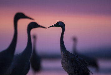 Common Cranes in autumn roosting site