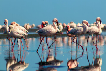 Group birds of pink african flamingos  walking around the blue lagoon