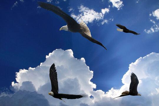 Many bald eagles flying