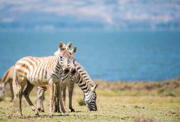 Printed roller blinds Zebra young zebras in Naivasha