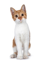 Wall Mural - Cute young red with white non breed cat, sitting up facing front. Looking towards camera with sweet brown eyes. Isolated on a white background.