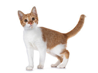Wall Mural - Cute young red with white non breed cat, standing side ways. Looking towards camera with sweet brown eyes. Isolated on a white background. Tail fierce up.