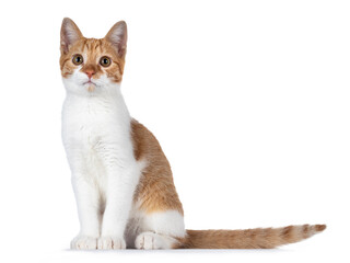 Wall Mural - Cute young red with white non breed cat, sitting side ways. Looking towards camera with sweet brown eyes. Isolated on a white background. Tail beside body.