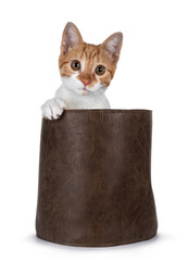 Wall Mural - Cute young red with white non breed cat, sitting in brown leather basket. Looking towards camera with sweet brown eyes. Isolated on a white background. One paw on edge bag.