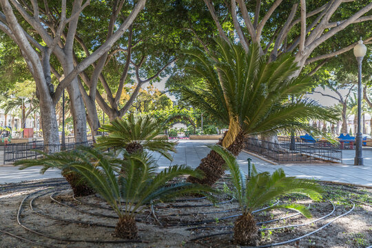 Palmito or dwarf palm trees (Chamaerops humilis) in a roundabout in in the park Nicolas Salmeron with trees and sidewalk in the background, sunny day in Almeria Spain