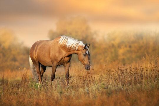 Cream horse in motion  at sunset light