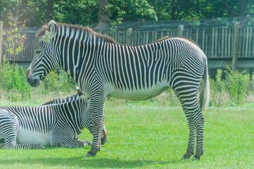 Printed roller blinds Zebra zebra on grass