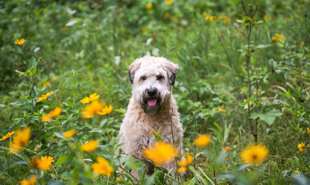 Wheaten terrier dog sitting in a field of tall grass and wildflowers.