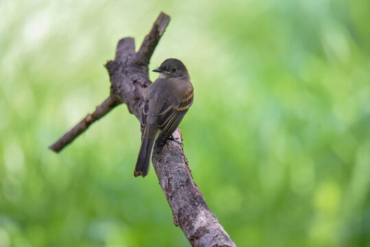 acadian flycatcher on a branch