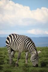 Printed roller blinds Zebra zebra in the savannah