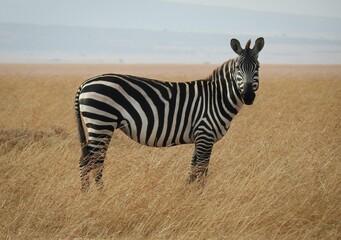 Wall Murals Zebra zebra in the savannah