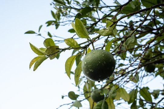 Bergamot citrus fruit on the plant in summer waiting for the future harvest. Reggio calabria - Italy