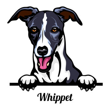 Head Whippet - dog breed. Color image of a dogs head isolated on a white background
