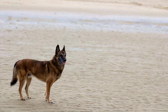 Belgian Shepherd Dog on the Morning Sea Sandy Shore