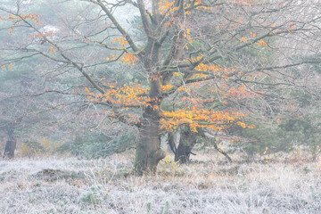 yellow beech tree on white frosted meadow