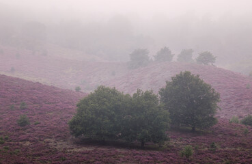 pink hills with flowering heather in dense fog