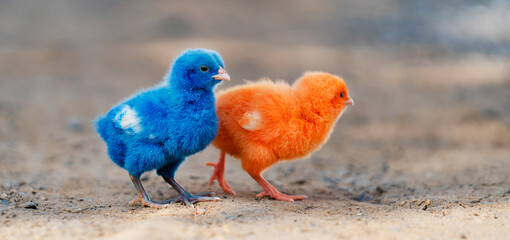 close up new born chicken red, blue on nature background
