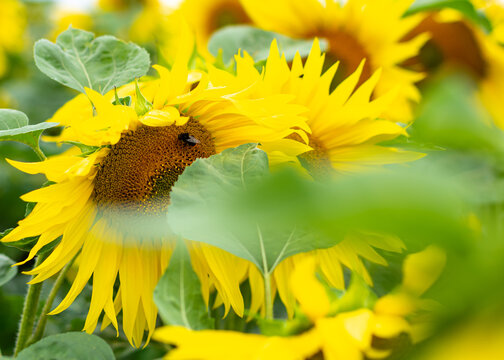 Group of sunflowers behind leaves with working bee