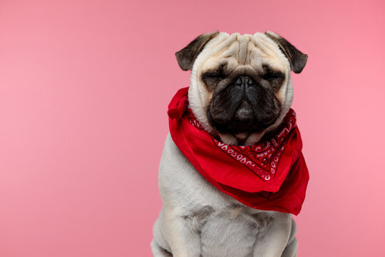 pug dog sleeping, sitting and wearing a red bandana