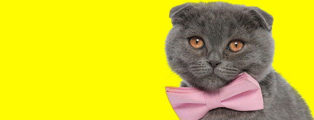 Eager Scottish Fold cat wearing bowtie and looking forward