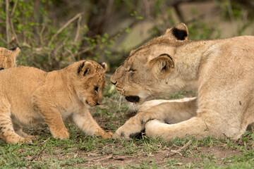 Wall Mural - Lioness and her cub, Masai Mara