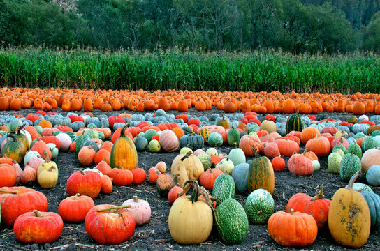 Colorful pumpkins are displayed in field where they grew, Half Moon Bay, California