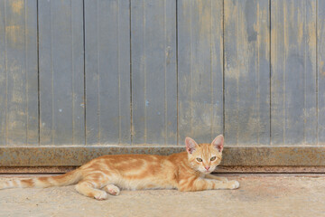 A small red and white cat lies on the ground in front of an old blue metal wall