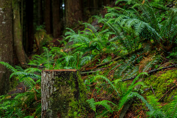 Mossy tree trunk and fern fronds between the pine trees in the Lynn Canyon Park forest in Vancouver, Canada