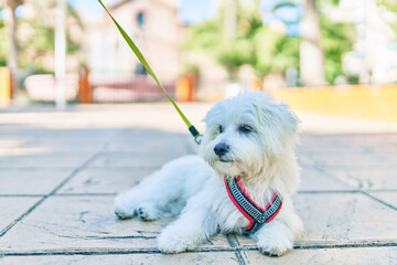 Adorable white dog at street of city.