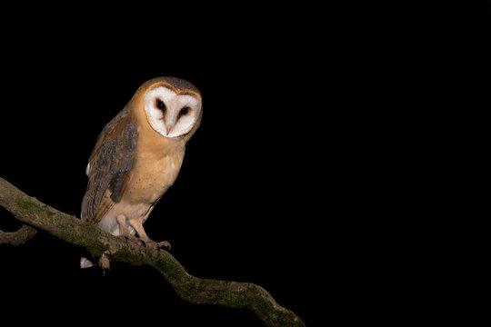 The beautiful Barn owl (Tyto alba)