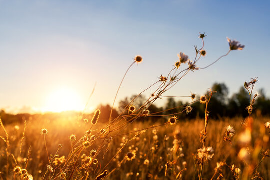 Abstract warm landscape of dry wildflower and grass meadow on warm golden hour sunset or sunrise time. Tranquil autumn fall nature field background. Scenic dusk sundown or dawn pastel sun light