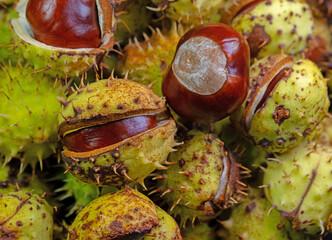Früchte der Rosskastanie, Aesculus hippocastanum