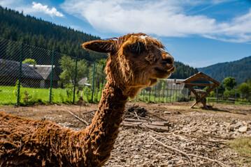 Printed roller blinds Lama brown llama in the park.