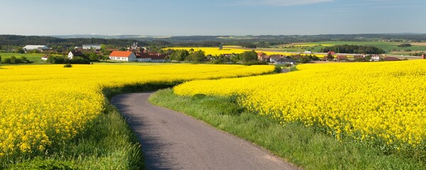 rapeseed canola or colza field with rural road
