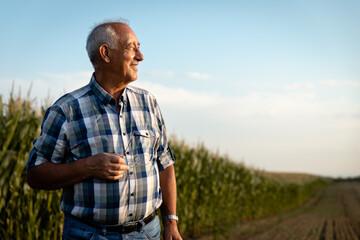 Portrait of senior farmer standing in corn field examining crop at sunset.