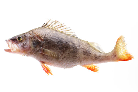Perch fish on white background