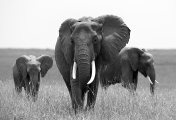 Wall Mural - African elephants in Savannah, Masai Mara