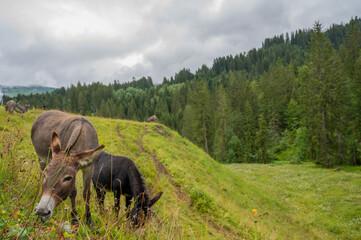 Obraz Young free donkeys at the alp meadow. - fototapety do salonu