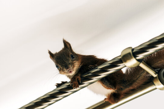 Brown squirrel sitting on a crossbar in the house. Pet