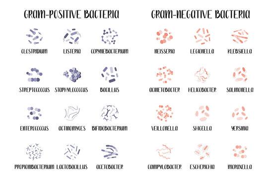 Gram-positive and gram-negative bacteria.  Bacteria classification, different genus. Morphology. Microbiology. Vector flat illustration