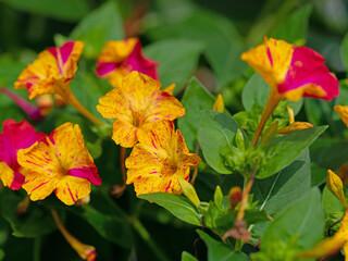 Blühende Wunderblume, Mirabilis jalapa