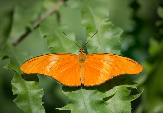 A Julia Heliconian or Dryas Iulia butterfly perched on a plant leaf.