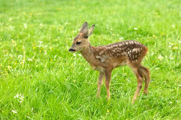 Beautiful Deer Fawn