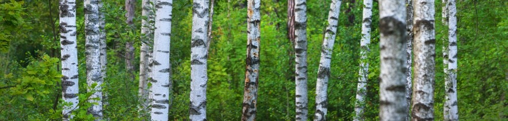 Panoramic view of the green summer birch forest, tree trunks close-up. Ecology, environmental...