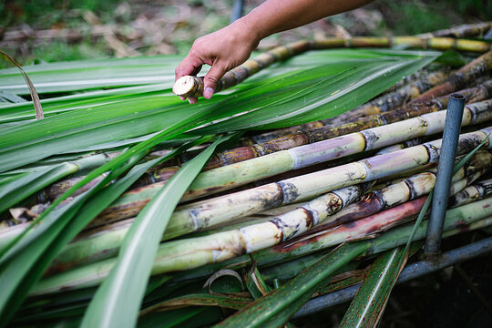 green sugar cane stems and leaves ,  one cut sugar cane in a hand