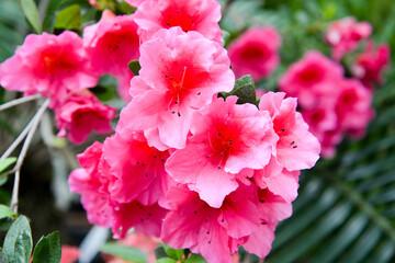 pink azalea flowers in the garden